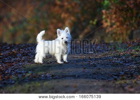 West Highland White Terrier in forest waiting for his master