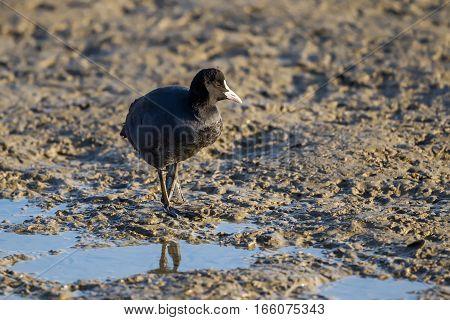 The Eurasian Coot (fulica Atra)