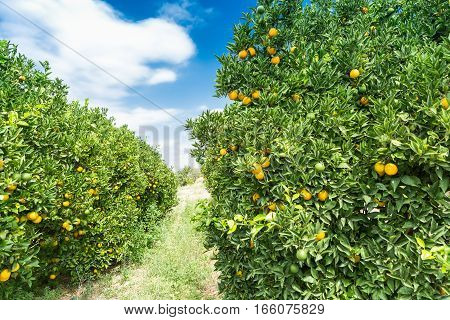 Orange garden at summer - Trees with ripe fruits