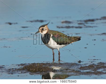 Northern lapwing (Vanellus vanellus) standing in water in its habitat