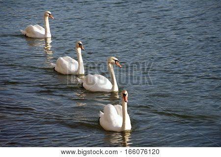 Group of mute swans symmetric swimming in row