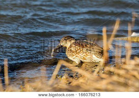 Duck , In Wetlands In Kalohori In North Greece With Soft Focus
