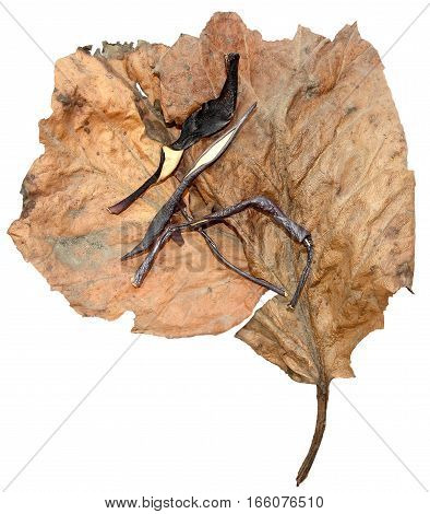 Pressed Leaves Of Poplar With Dried Dark Twisted Piece Of Eggplant Skin And Artichoke