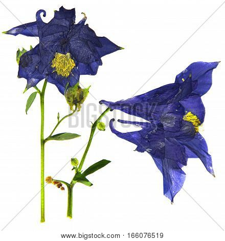 Dry Large Dark Blue And White Blossom Of Columbine Flower