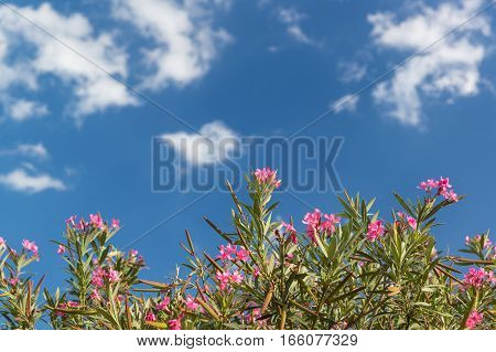 Flowers of the oleander ordinary (lat. Nerium oleander) against the sky