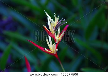 Vriesia Splendens Red And Yellow Flower