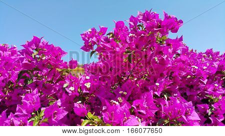Bright flowers of bougainvillea on blue sky background