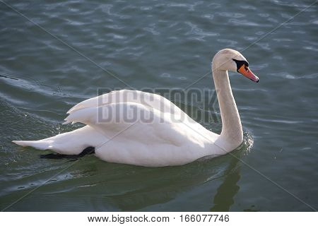 Side View Closeup Of A Graceful Cygnus Olor Mute Swan