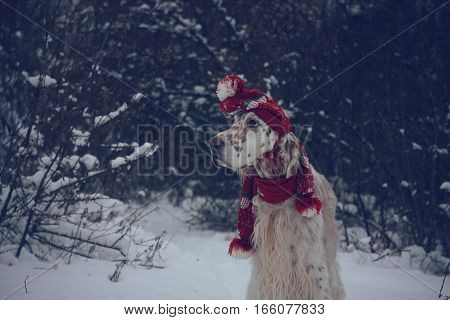 Adorable spotty furry white dog staying on white christmas background, wearing red hat and scarf, fashinable look in vintage style in new year time
