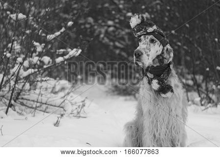 Cute and funny furry dog sitting in winter forest in black and white style, english setter with hat and scarf