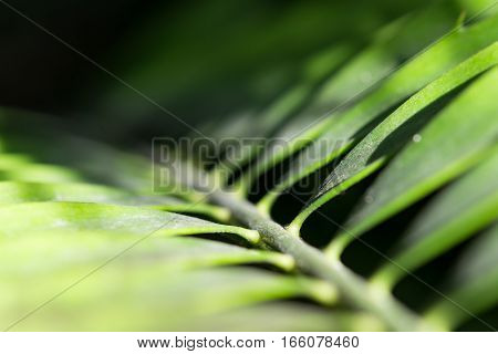Close-up palm frond from darkness to sunlight. Stock photo with selective focus point and shallow depth of field.