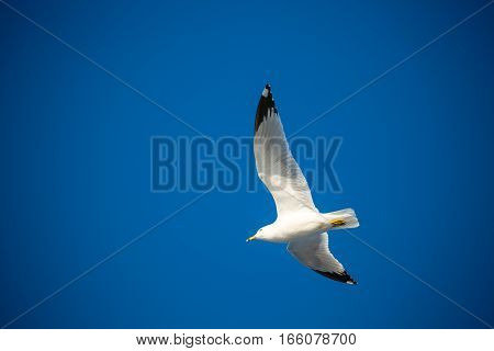 Ring-billed Gull, (Larus delawarensis) flying in a blue sky in spring.