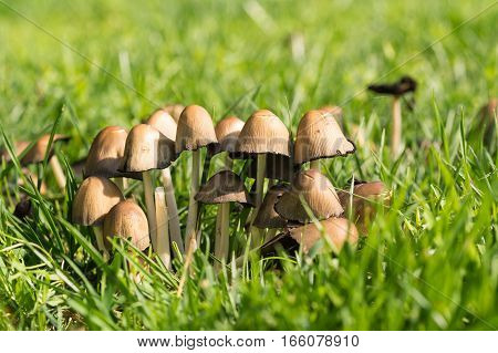 Beetle gray or grey ink mushroom (lat. Coprinopsis atramentaria) in green grass