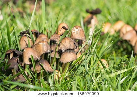 Old mycelium of the beetle gray or inky, or inky grey fungus (lat. Coprinopsis atramentaria) in green grass