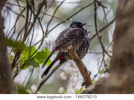 Indian birds the Red Vented Bulbul pairs shot in their natural environment.