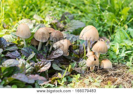 Beetle gray or inky inky inky grey fungus (lat. Coprinopsis atramentaria) and Ajuga repens (lat. Ajuga reptans)