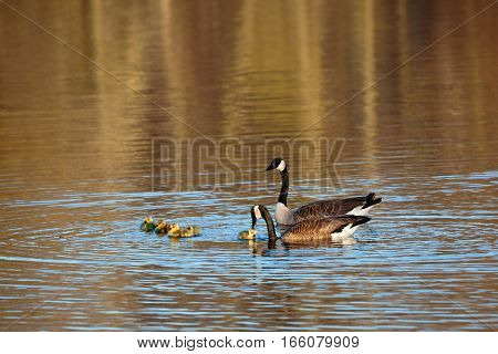 Canada geese (Branta canadensis) resting on a lake with their goslings.