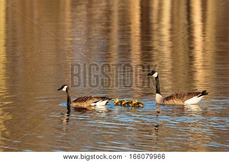 Family of Canada geese (Branta canadensis) out for a swim in a Wisconsin lake.