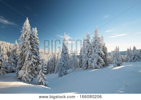 Spruce trees covered with snow on a mountain slope.