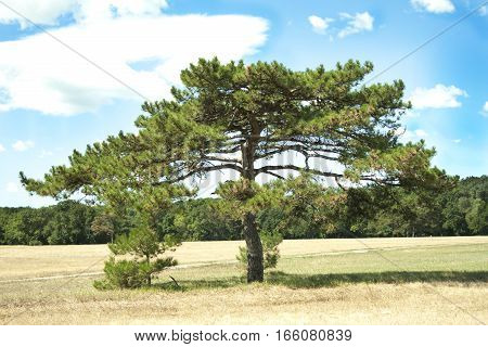 lone pine tree in a field with yellow grass