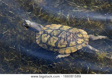 A Turtle swimming in a shallow pond