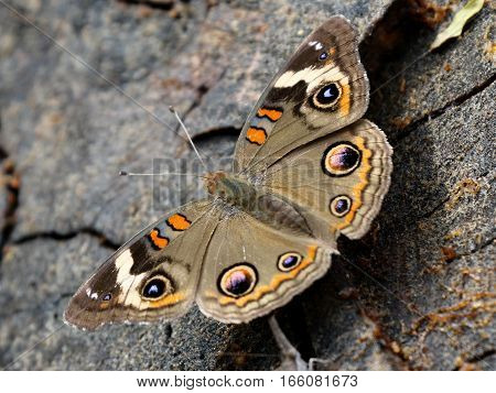 A Common Buckeye Butterfly (Junonia coenia) resting with wings open