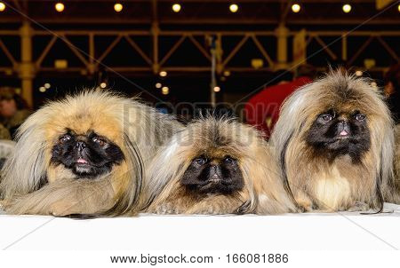 Three Pekingeses are in the city show.