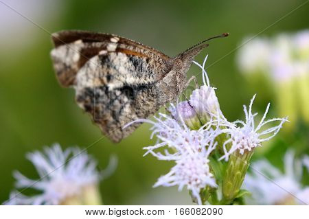 An American Snout Butterfly (Libytheana carinenta) on Blue Mistflower