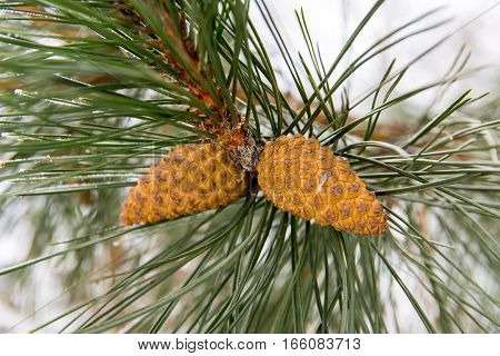 The Branch of Spruce tree with a cone. Green evergreen needles. Fir-tree branch of conifer tree with cone for new year.