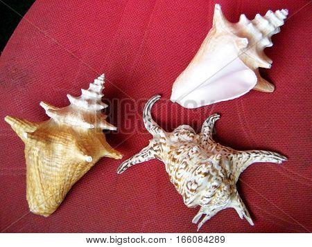 Three beautiful Sea shells in Or Yehuda Israel August 2 2010