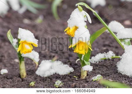 Yellow daffodils growing in early spring primroses are covered with snow blooming spring flowers