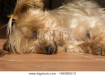 Detail of dog nose and snout, Cute Doggy Sleeping soundly with his head on the floor. Yorkshire Terrier brown doggie warm in the sun. Macro Closeup