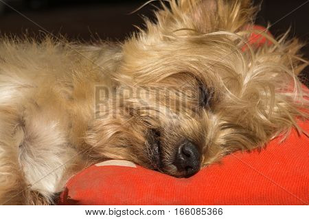 Detail of dog nose and snout, Cute Doggy Sleeping soundly with his head on a pillow. Yorkshire Terrier brown doggie warm in the sun. Macro Closeup