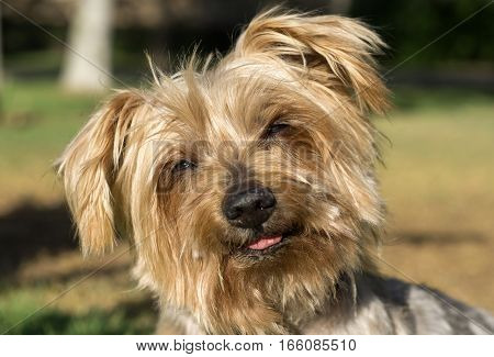 Surprised dog. Doggy with curiosity expression raising his ears. Close-up of eyes narrowed by the sun. Dog tilting his head Hey what's up, brown Yorkshire Terrier doggie. Blurry background