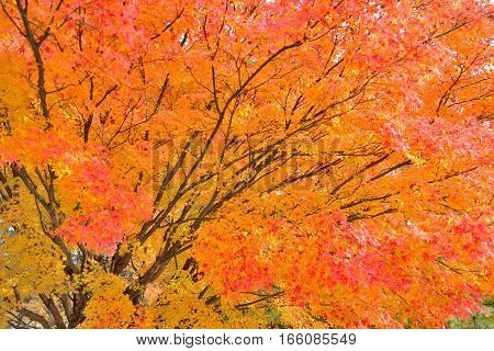 Maple tree in vibrant orange and red colors in Japan