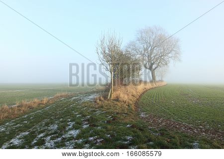 English winter landscape with hedgerows and an Ash tree by frosted green wheat fields on a misty day on the scenic Yorkshire wolds.