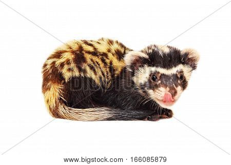 Marbled polecat (Vormela peregusna) licking her lips on white background.Vulnerable species in the IUCN Red List.