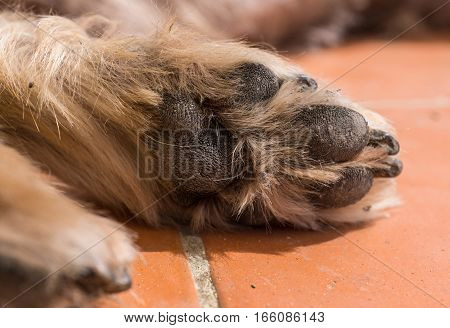 Cute sleeping dog Yorkshire Terrier. Doggy paw pad worn by years in macro detail. Brown hair between doggie paws