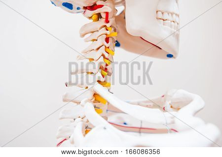 Close Up Side View Human Skeleton Cervical Spine Anatomical Model. Medical Clinic Concept. Selective