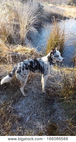 Blue merle border collie by frozen pool