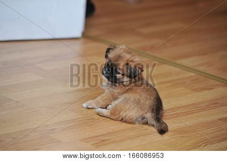 Pekingese Dog Relaxing In The Home