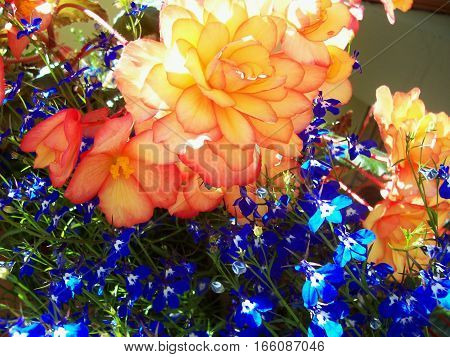 Bright colored yellow and orange flowers together with blue forget-me-nots for background. Colorful collection of plants.