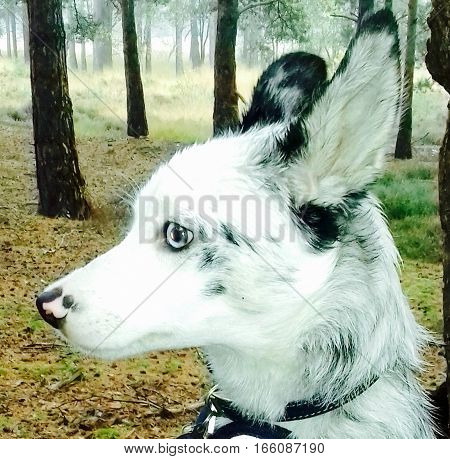 Blue merle border collie in woodland setting