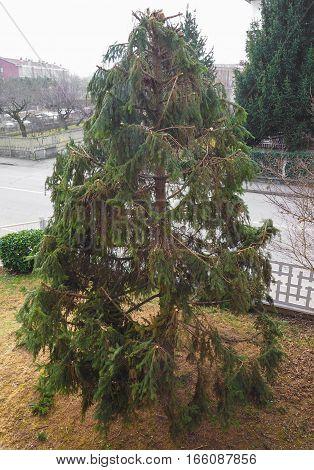 pruned fir evergreen coniferous tree in winter