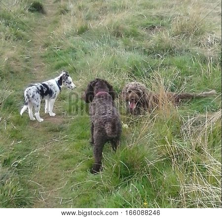 Blue merle border collie puppy playing with friends
