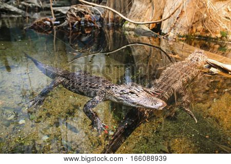 American Alligators at home in the Louisiana swamps