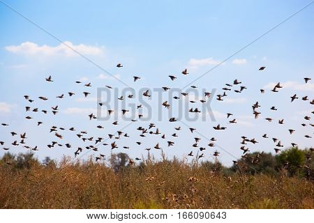 A large flock of sparrows flew to the field in search of food.