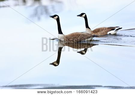 Pair of Canada Geese, (Branta canadensis) swimming in a Wisconsin lake in March.