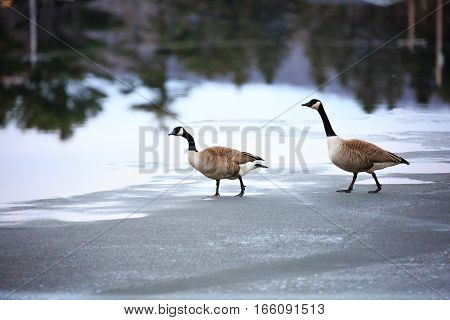 Two Canada Geese, (Branta canadensis) walking on a ice covered lake in Wisconsin.