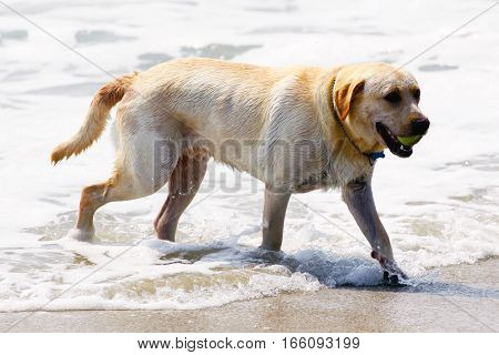 Dog is catching the ball on the beach and jumped in to the sea water